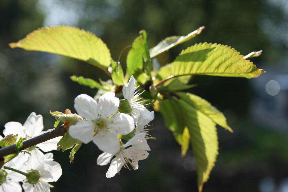 unser Kirschbaum in der Sonne!