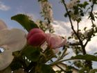 Unser kleines Apfelbäumchen