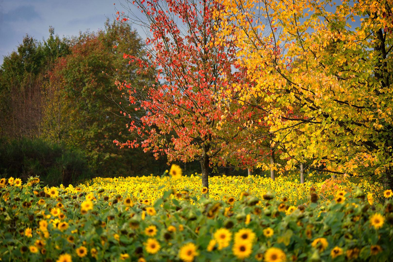 Unser kleines Sonnenblumenfeld (3)