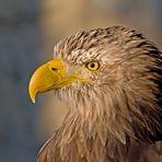 Unser majestätischer Wappenvogel