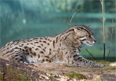 Unser neuer Fischkatzenkater Radu