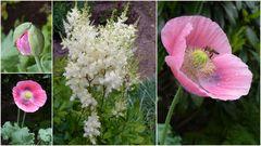Unser rosa Gartenmohn