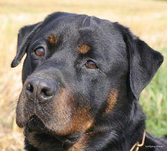 Unser Rottweiler Aaron