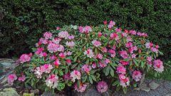 Unser stattlichster Rhododendron ist zur Hälfte aufgeblüht...