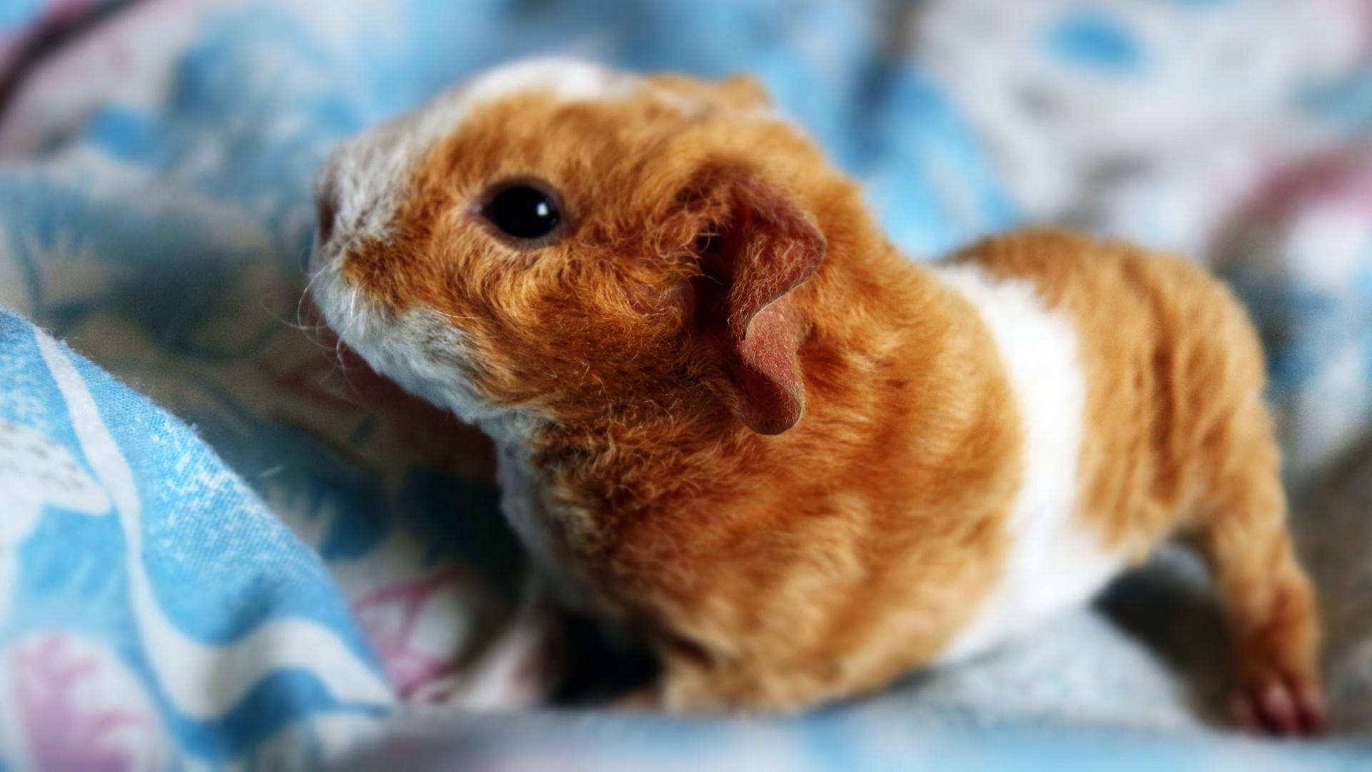 Unser Steff-Merri (Teddy-Meerschwein)