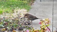 Unsere Amsel