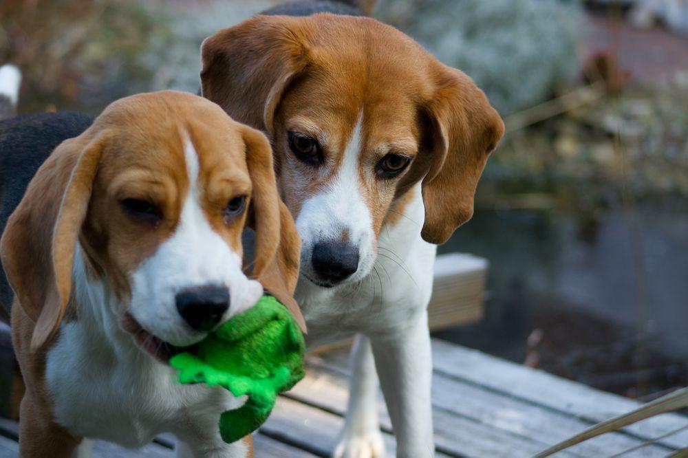 unsere Beagle