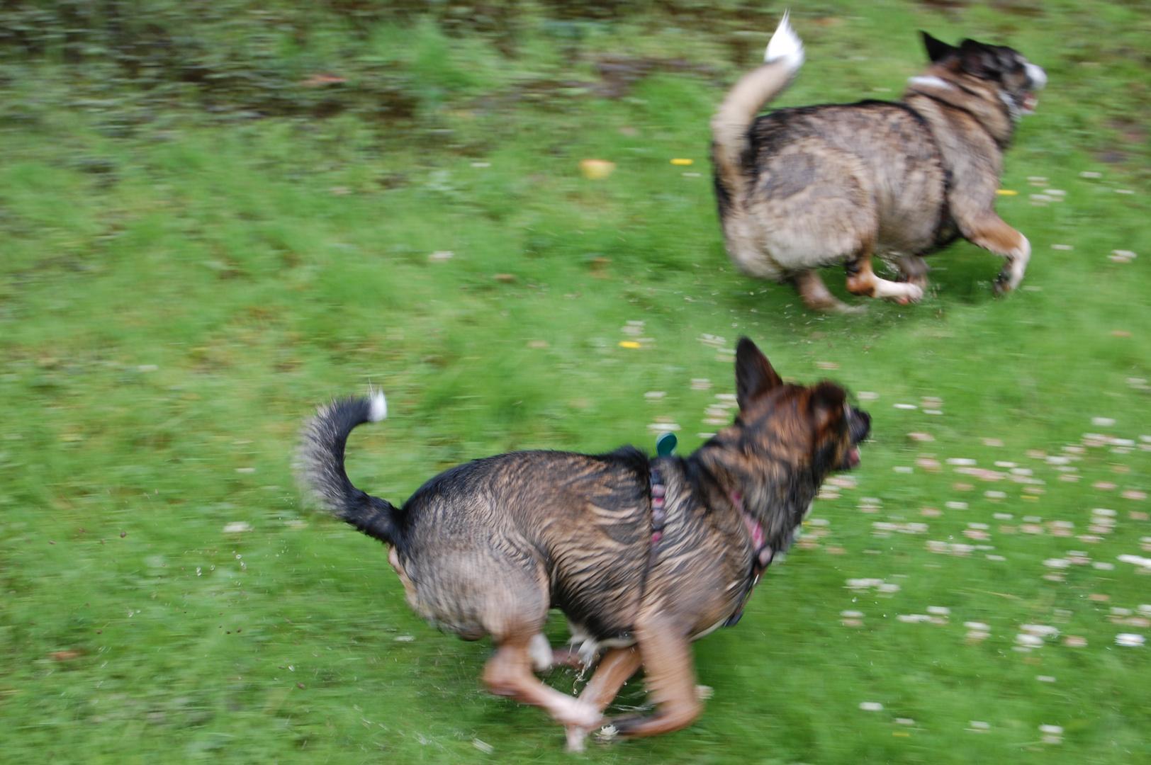 Unsere beiden Hunde beim Toben