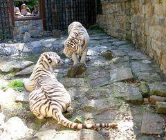 Unsere beiden weissen Tiger
