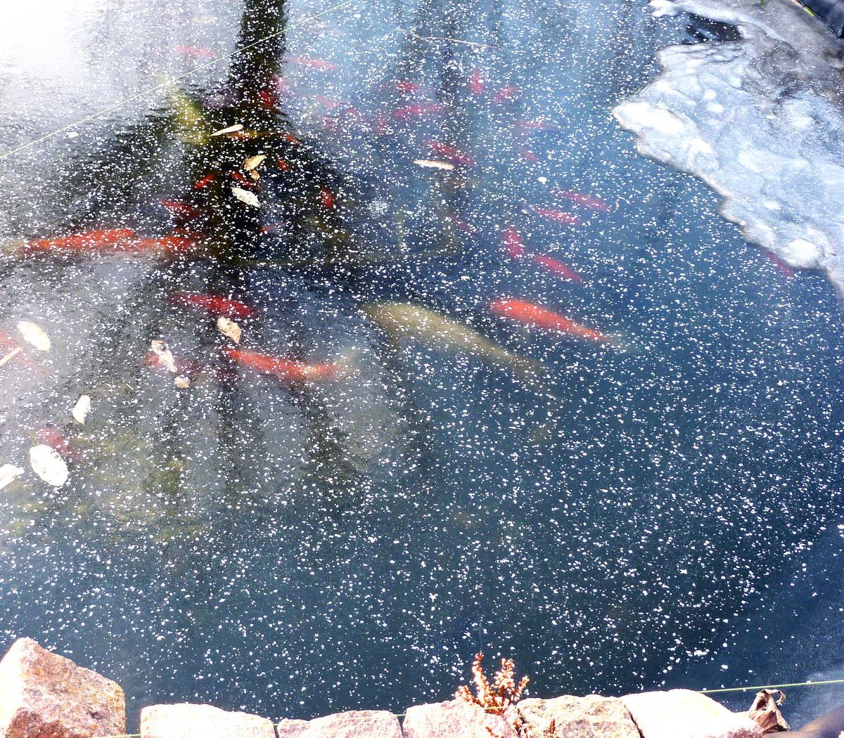 Unsere fische im winter foto bild tiere tiere for Goldfische im winter im teich