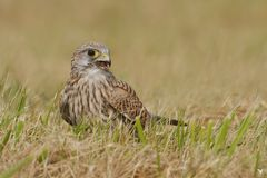 ... unsere freundliche Turmfalken Dame (Falco tinnunculus) (3) ...