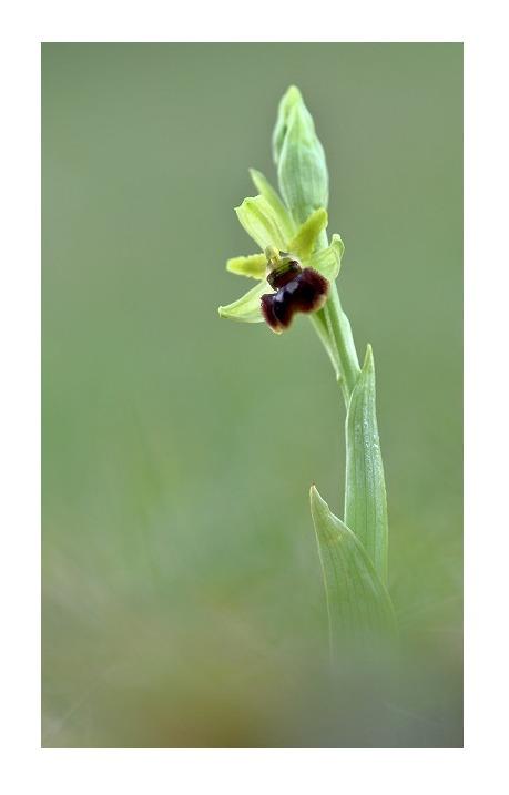 Unsere heimische Orchideen: Spinnenragwurz