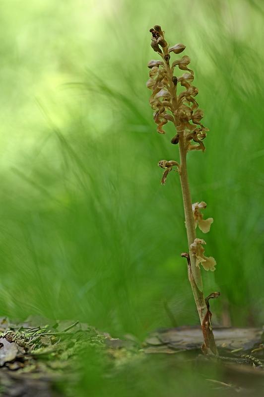 Unsere heimischen Orchideen: Nestwurz