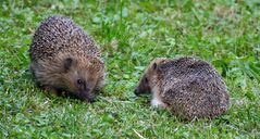 unsere Igel