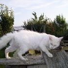 unsere LaPerm katze Aly