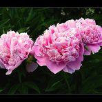 unsere Pfingstrosen im Garten........