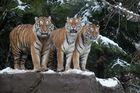 Unsere Tiger sind gross geworden