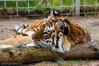 Unsere Tigerin Shiva
