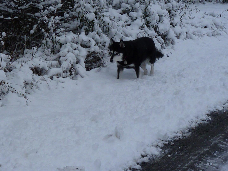 unsere treue husky-hündin bonny