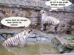 Unsere weissen Tiger Kiara und Karim