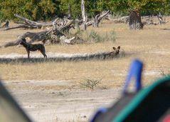 Unter Beobachtung der Wildhunde