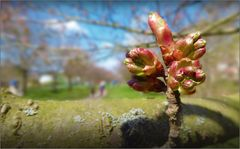 Unter blühenden Kirschbäumen wandeln ...