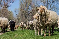 Unter noch mehr Schafen ...