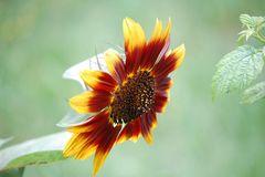 Untergehende Sonne(nblume)