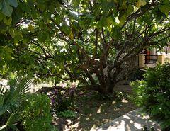 unterm feigenbaum hindurch...