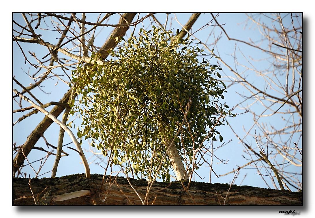 Auf Welchen Bäumen Wachsen Misteln