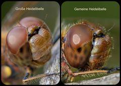 Unterschied Große Heidelibelle - Gemeine Heidelibelle