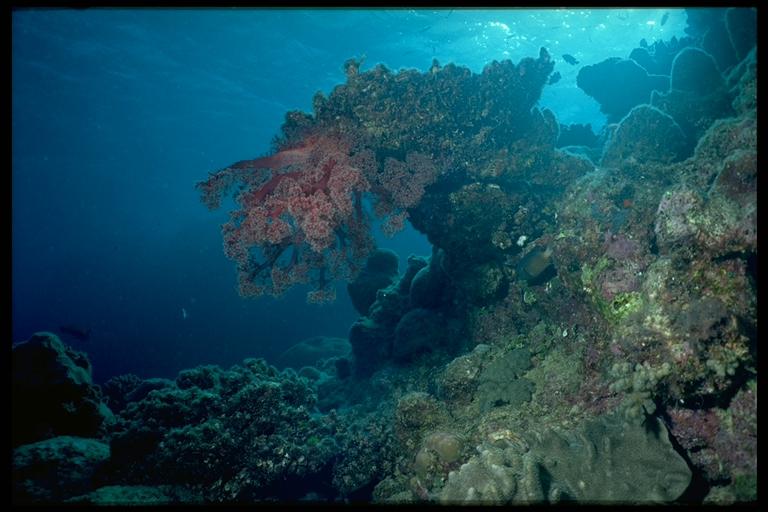 Unterwasser-Landschaft mit Weichkoralle