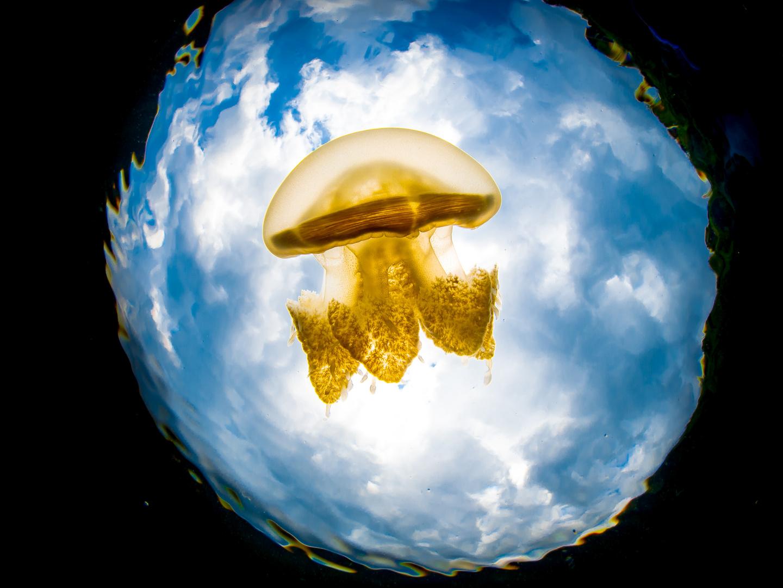 Unterwasserwelt  Maratua Atoll Jelly Fish Lake