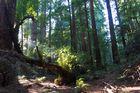 unterwegs im Märchenwald - Muir Woods