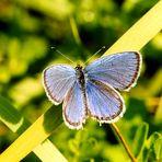 Unterwegs in Transylvanien (8): Blauer Schmetterling