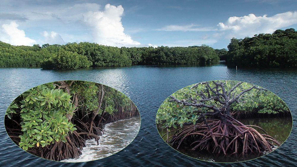 Unterwegs   Mangroven auf Yap