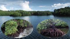 Unterwegs | Mangroven auf Yap