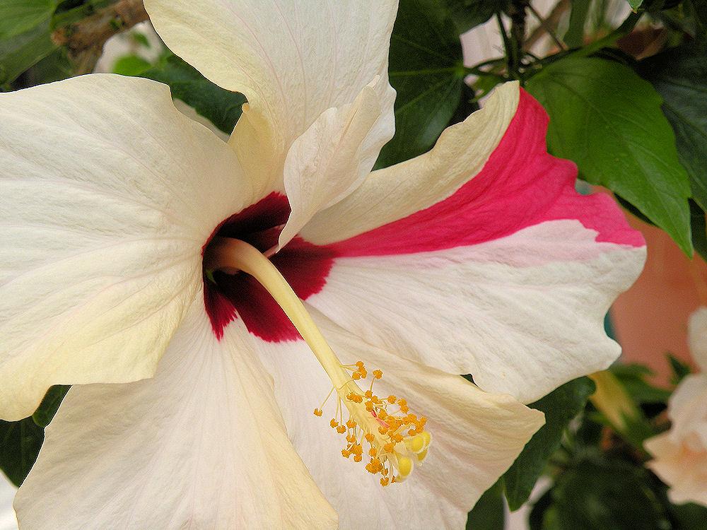 Unursal petal