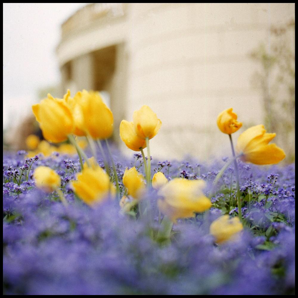 Unvergessliche Tulpen