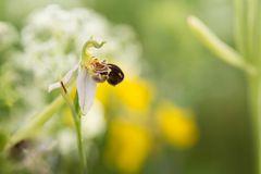 Unverhofftes Glück ... Bienenragwurz (Ophrys apifera)