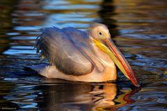 Unverwechselbar - der weltweit schwerste flugfähige Vogel ...