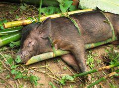 unzählige Schweine werden geopfert...