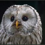 Ural owl [Strix uralensis] - Habichtskauz