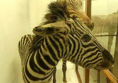 Uraltes Zebra