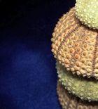 Urchin Study #3