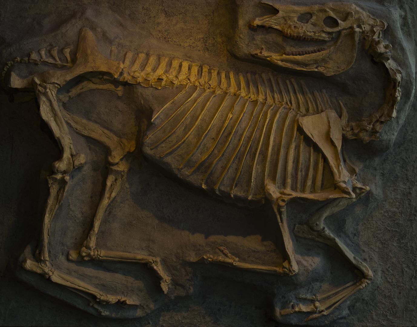 Urpferd 11 Mio. Jahre alt