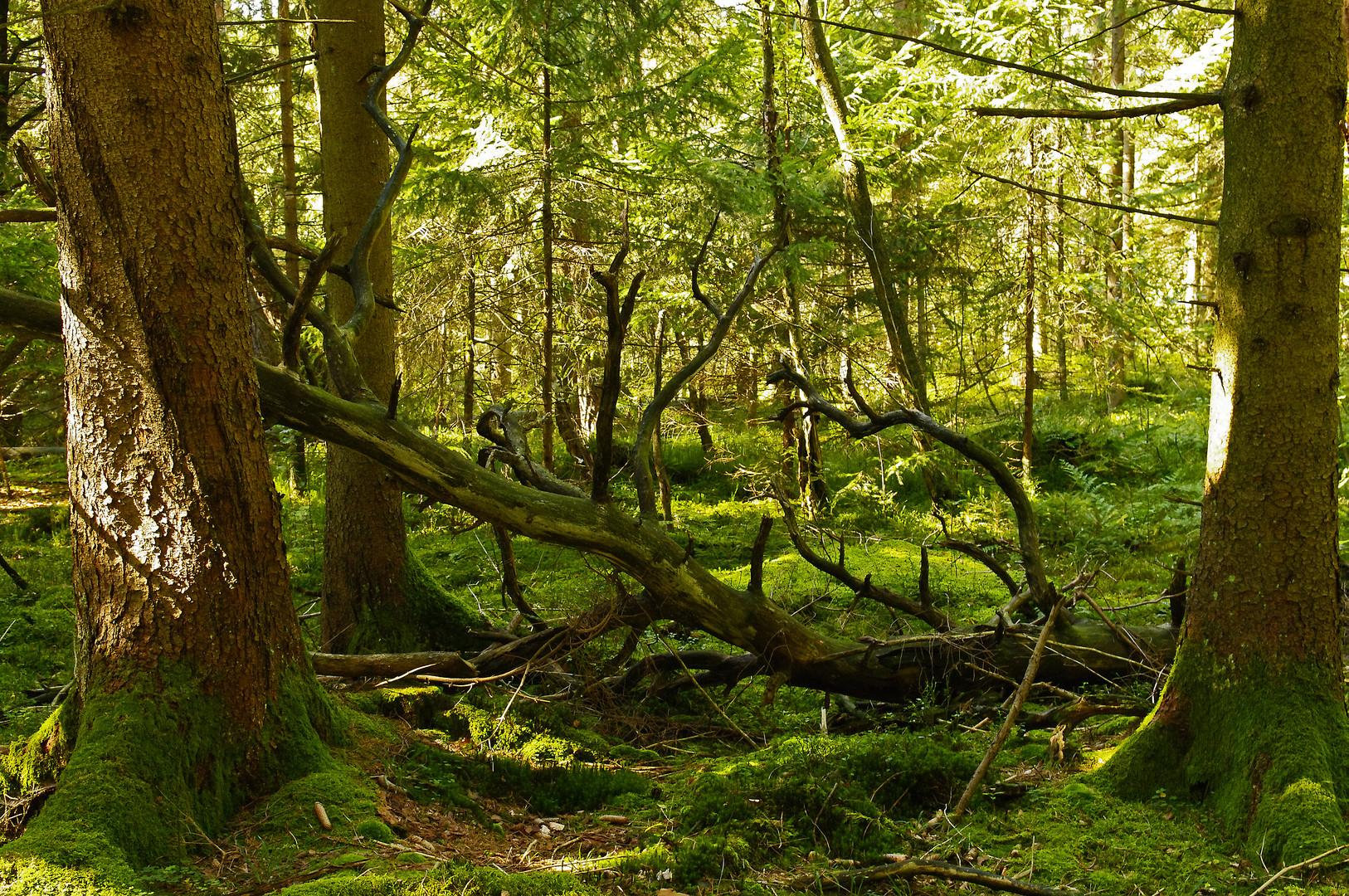Urwald bei Schönram