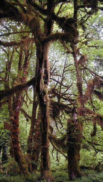 Urwald im Olympic National Park