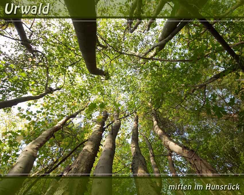 Urwald ... mitten im Hunsrück