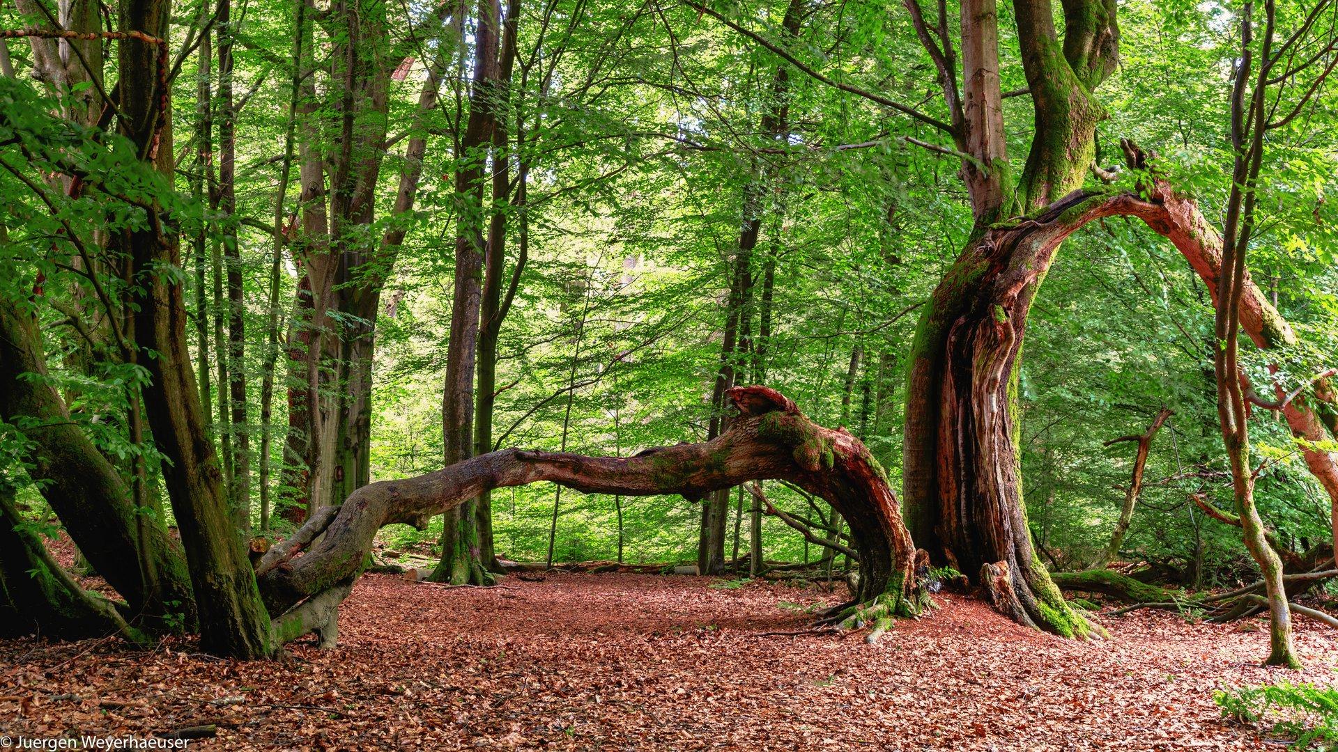 urwald sababurg foto  bild  landschaft wald baum